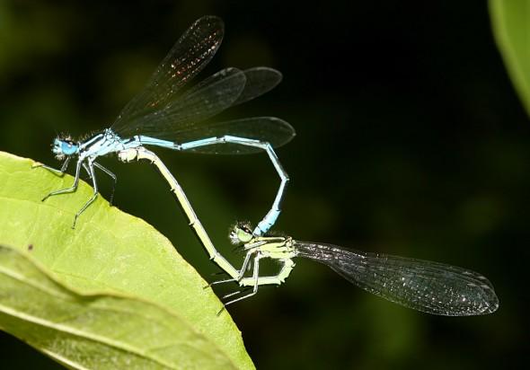 Coenagrion puella - Hufeisen-Azurjungfer - Fam. Coenagrionidae - Schlanklibellen - Zygoptera - Kleinlibellen - damselflies
