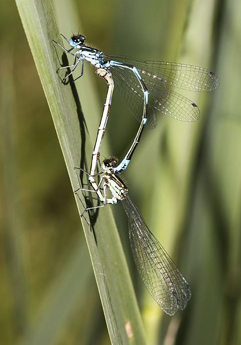 Coenagrion pulchellum - Fledermaus-Azurjungfer - Fam. Coenagrionidae - Schlanklibellen - Zygoptera - Kleinlibellen - damselflies