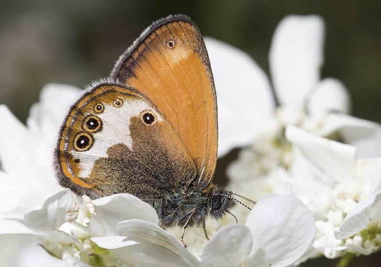Coenonympha arcania  - Weißbindiges Wiesenvögelein  - Zagori (Griechenland) - Nymphalidae - Edelfalter - brush-footed butterflies