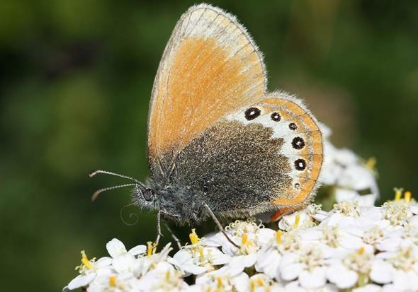 Coenonympha gardetta - Alpen-Wiesenvögelchen -  - Nymphalidae - Edelfalter - brush-footed butterflies