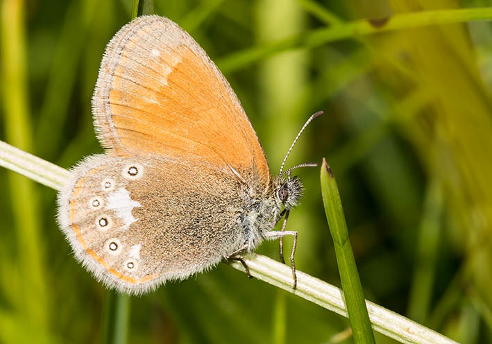 Coenonympha glycerion Rotbraunes Wiesenvögelchen -  - Nymphalidae - Edelfalter - brush-footed butterflies