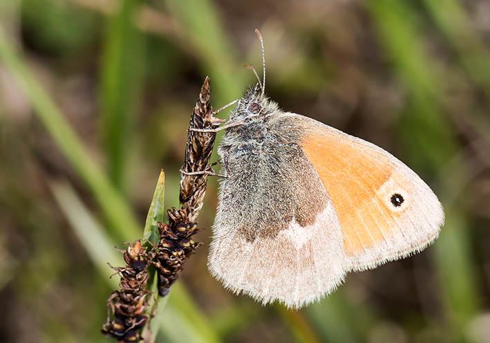 Coenonympha pamphilus - Kleines Wiesenvögelchen -  - Nymphalidae - Edelfalter - brush-footed butterflies