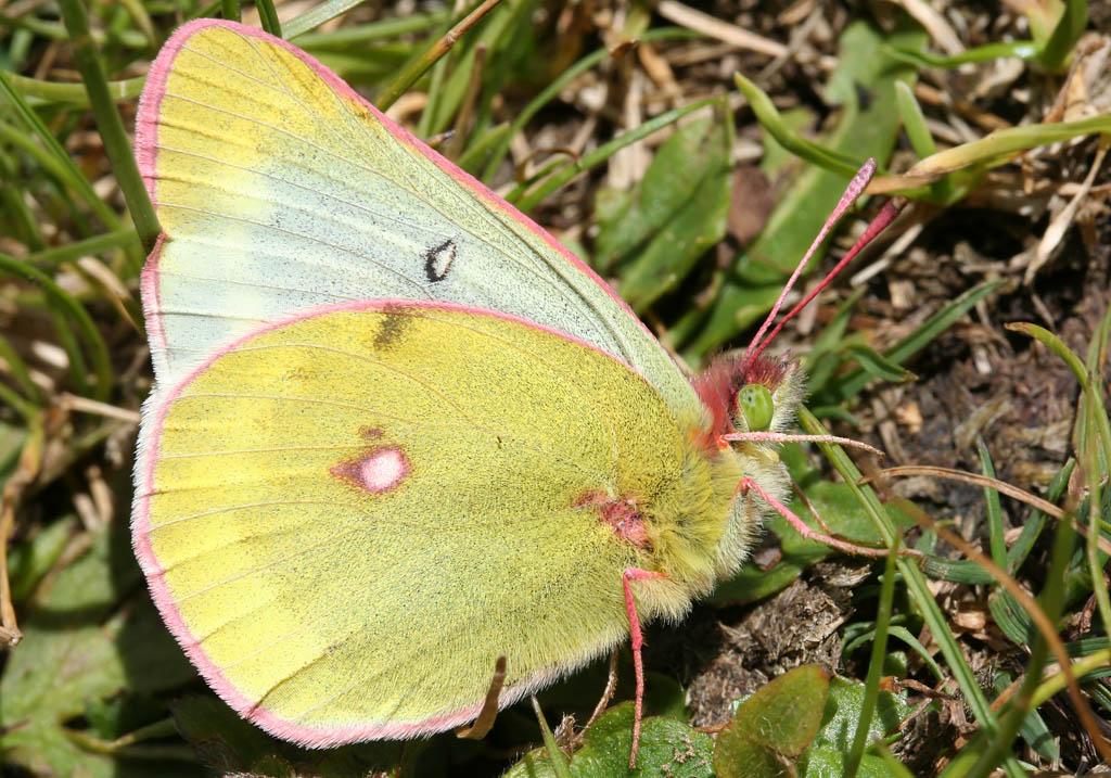 Colias phicomone - Alpengelbling -  - Pieridae - Weißlinge - whites