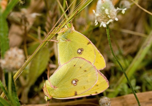 Colias sp. - Gelbling - Naxos - Pieridae - Weißlinge - whites