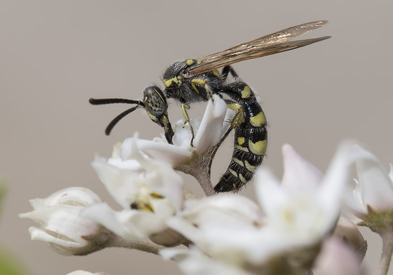 Colpa sexmaculata  (male) - Kos - Scoliidae - Dolchwespen - scoliid wasps