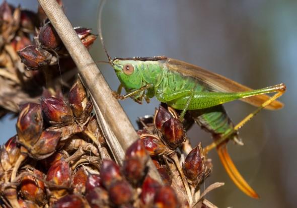 Conocephalus fuscus  - Langflüglige Schwertschrecke (female) - Fam. Conocephalidae (Schwertschrecken)  - Sardinien - Ensifera - weitere Familien - other families