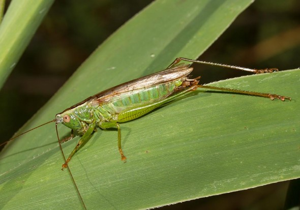 Conocephalus fuscus  - Langflüglige Schwertschrecke (male) - Fam. Conocephalidae (Schwertschrecken)  - Sardinien - Ensifera - weitere Familien - other families