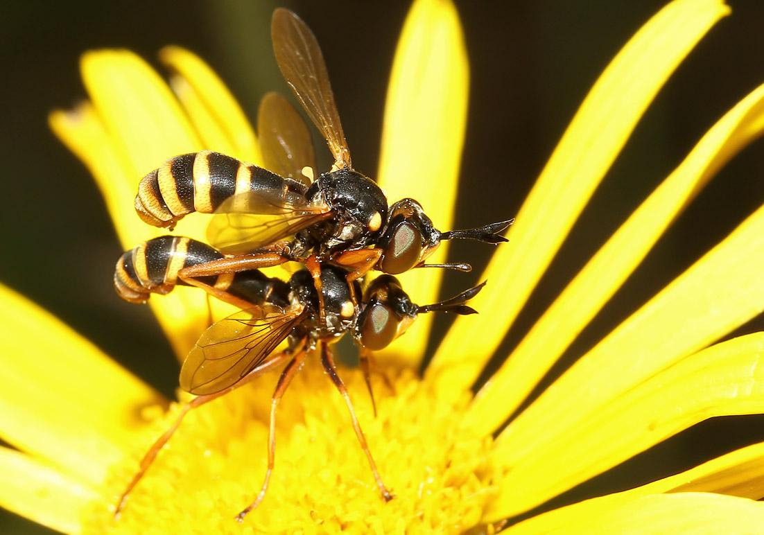 Conops quadrifasciatus - Vierstreifige Dickkopffliege - Fam. Conopidae - Dickkopffliegen - Brachycera (Fliegenartige) - Aschiza