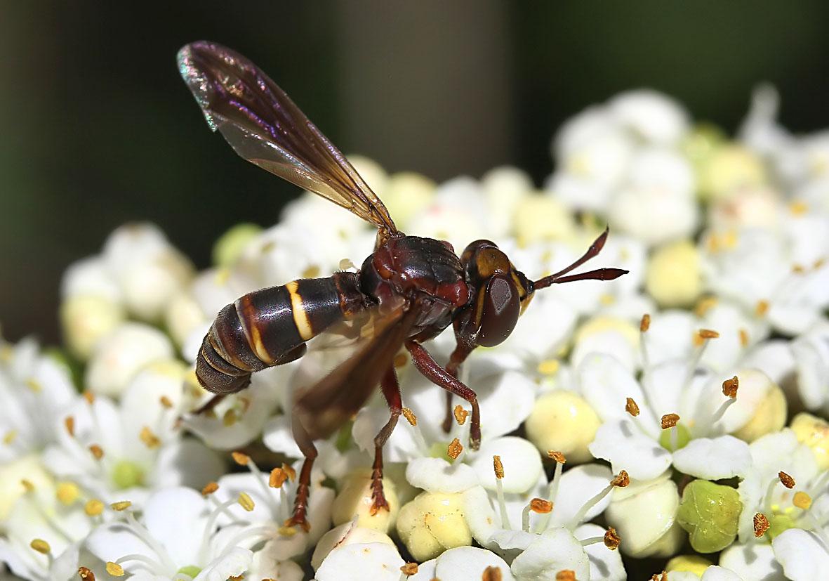 Conops vesicularis - Fam. Conopidae - Dickkopffliegen - Brachycera (Fliegenartige) - Aschiza