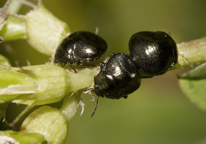 Coptosoma scutellatum - Kugelwanze - Fam.  Plataspididae - Kugelwanzen - Heteroptera - Wanzen - true bugs