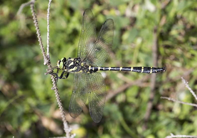 Cordulegaster bidentata - Gestreifte Quelljungfer - Fam. Cordulegastridae - Anisoptera - Großlibellen - dragonflies