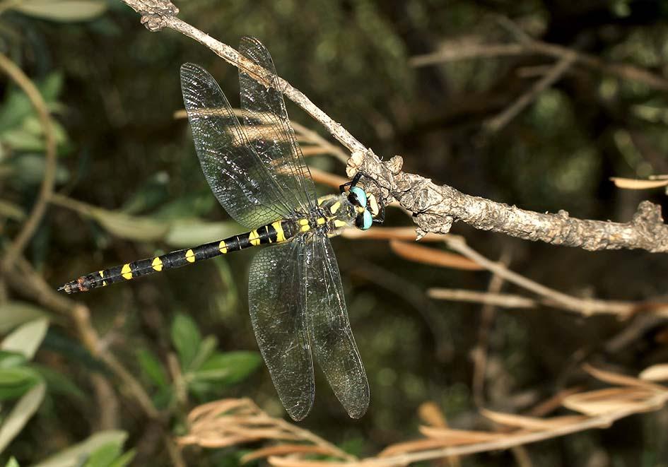 Cordulegaster insignis - Blau-Augen Quelljungfer - Fam.  Cordulegastridae  -  Samos - Anisoptera - Großlibellen - dragonflies