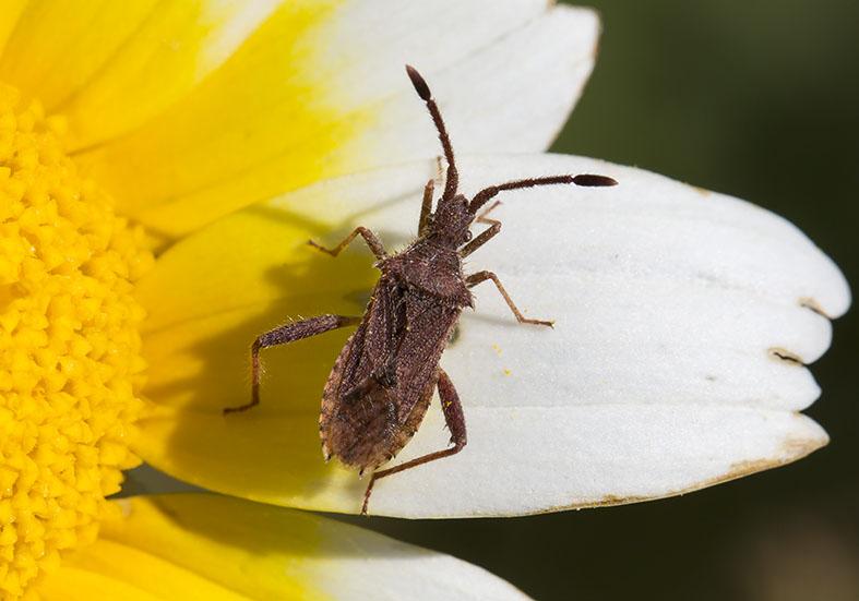 - Coreidae  (Randwanzen) Amorgos - Heteroptera - Wanzen - true bugs