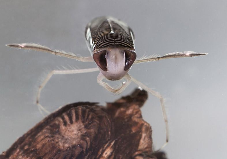 Sigara sp. - Fam. Corixidae  Ruderwanzen - Heteroptera - Wanzen - true bugs