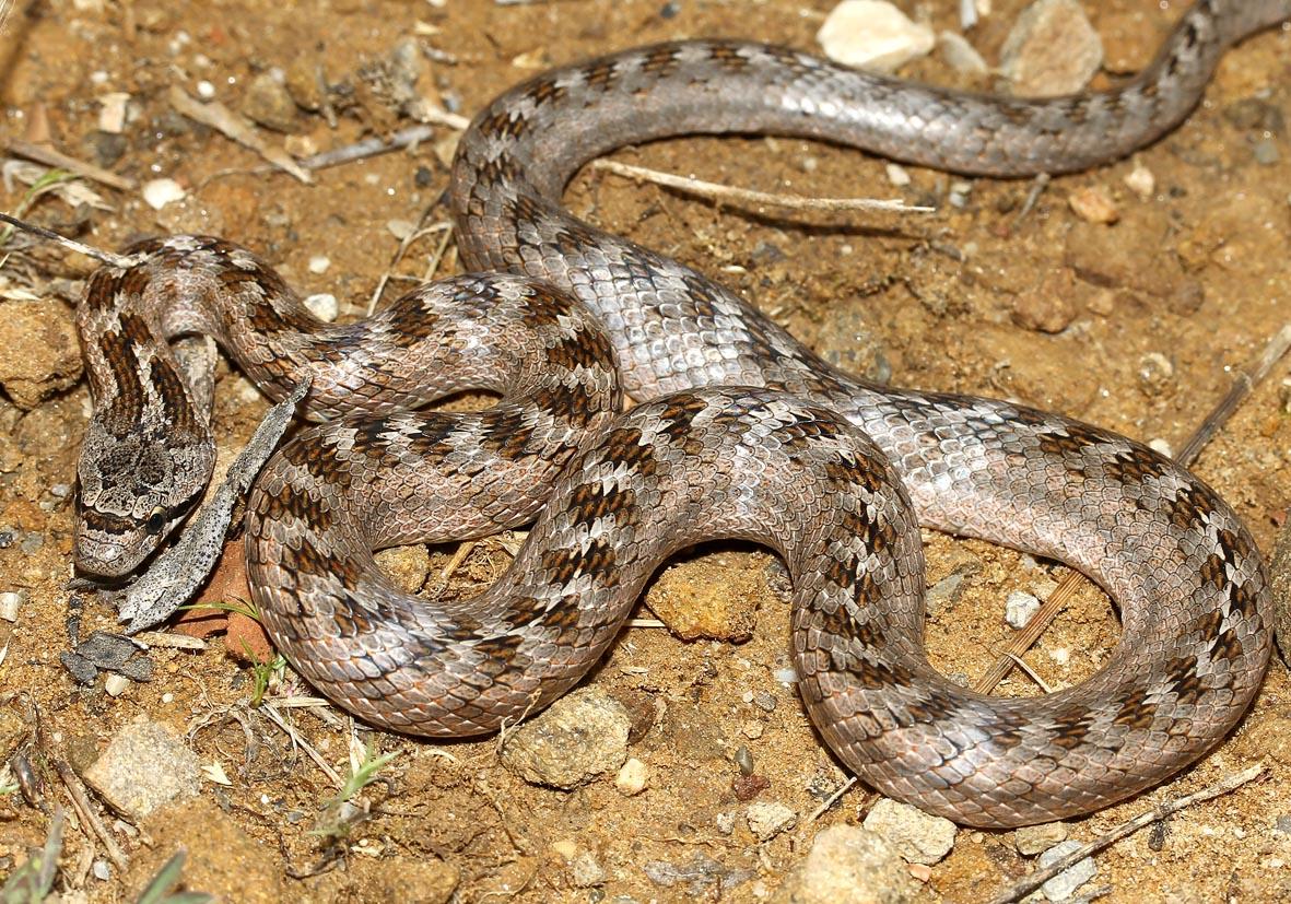 Coronella girondica - Girondische Schlingnatter - Toscana - Serpentes - Schlangen - snakes