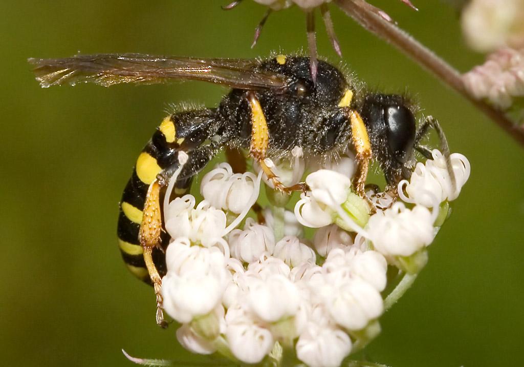 Crabro peltarius -  - Spheciformes - Grabwespen - thread-waisted wasps