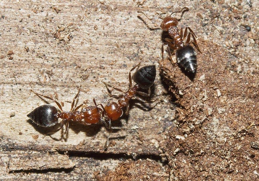 Crematogaster schmidti - Zagori  (Epirus-Griechenland) - Formicidae - Ameisen - Ants