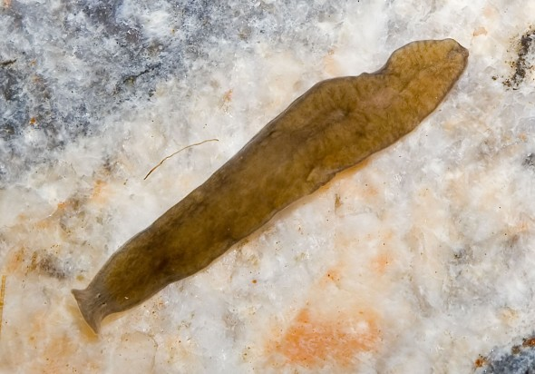 Crenobia alpina - Alpenstrudelwurm - Turbellaria (Tricladida) - Strudelwürmer - Aquatisch - aquatic