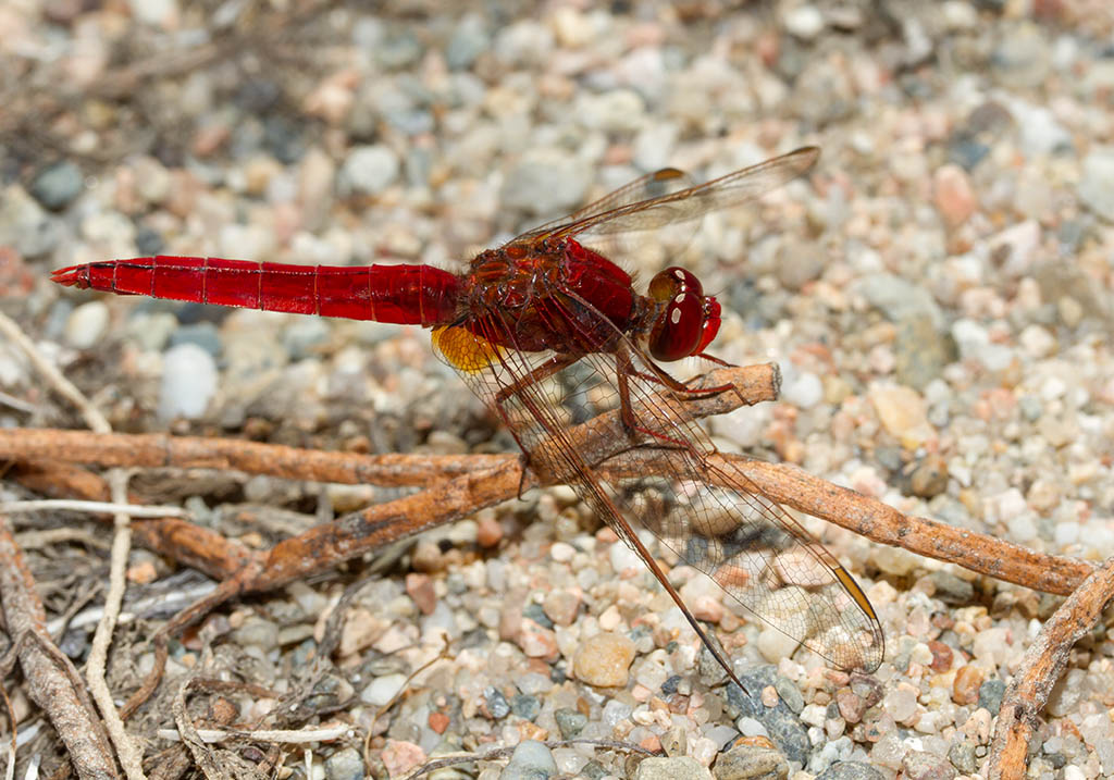 Crocothemis erythraea - Feuerlibelle - Fam. Libellulidae  -  Sardinen - Anisoptera - Großlibellen - dragonflies