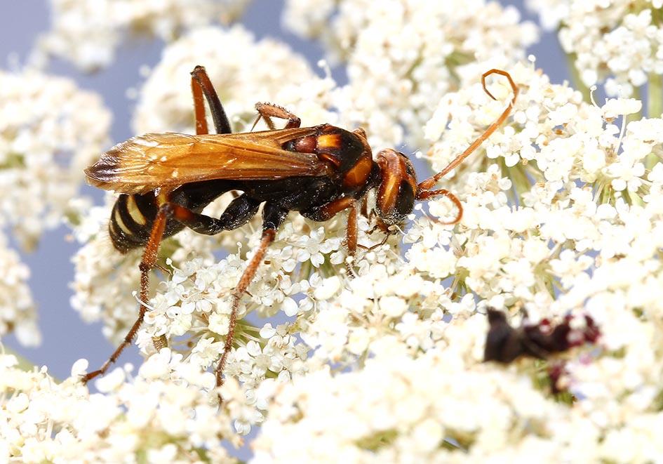 Cryptocheilus comparatus - Samos - Pompilidae - Wegwespen - spider wasps