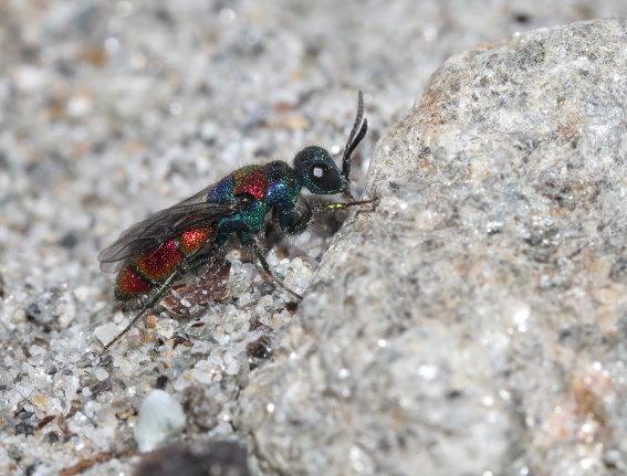 Crysis bicolor -  - Chrysididae - Goldwespen - Gold wasps