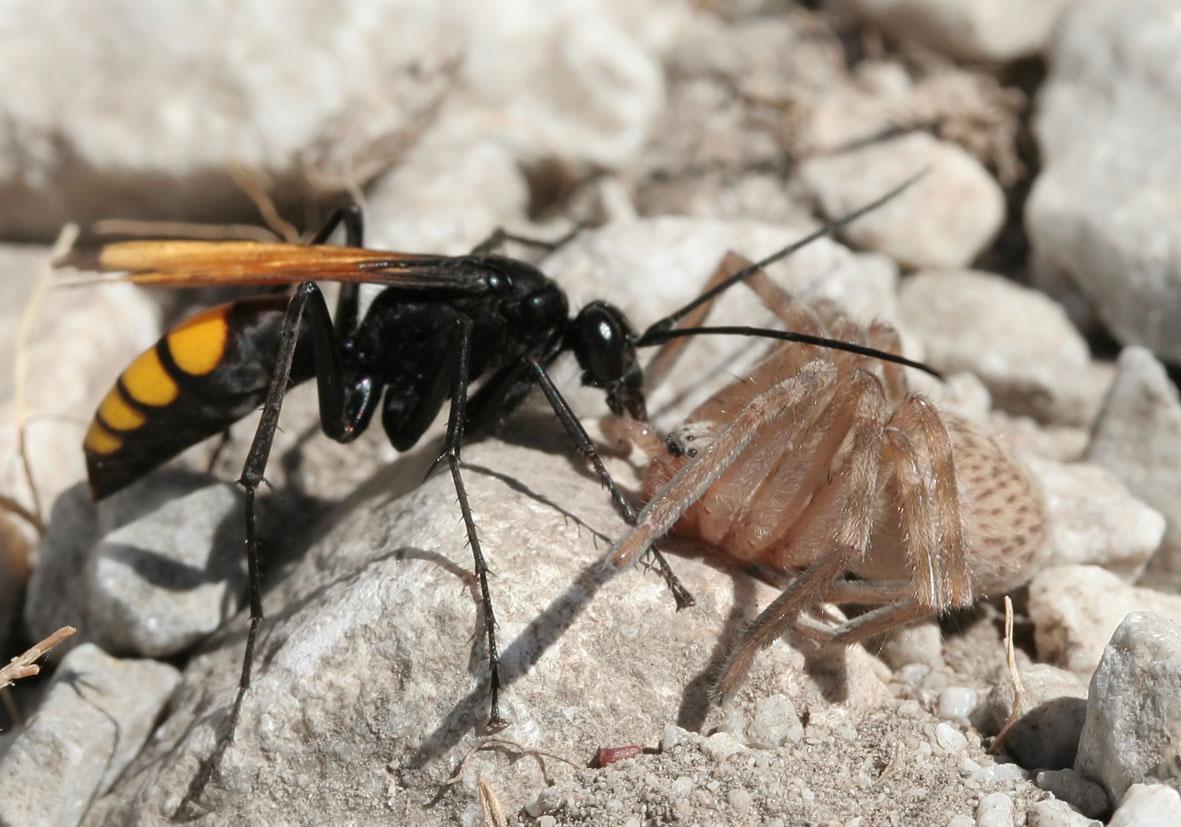 Ctenagenia vespiformis - Samos - Pompilidae - Wegwespen - spider wasps