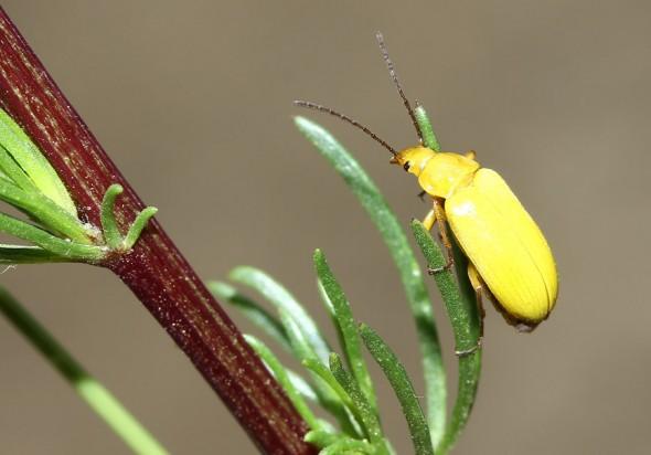 Cteniopus flavus - Schwefelkäfer - Fam. Alleculidae - Pflanzenkäfer - weitere Käferfamilien - other beetle families