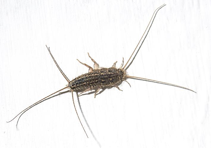 Ctenolepisma lineata - Kammfischchen - Fam. Lepismatidae - Zygentoma - Fischchen