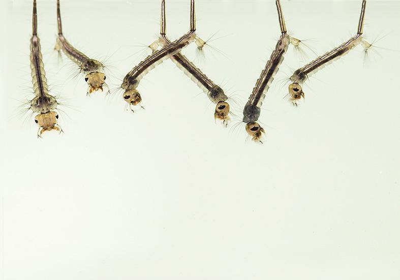 Culex pipiens Larve  Stechmücke - Fam. Culicidae - aquatische Dipteren-Larven