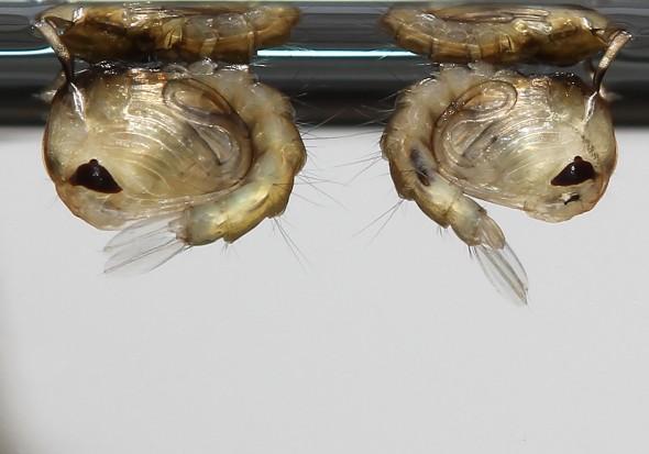 Culicidae Puppe - Stechmücke - Fam. Culicidae - aquatische Dipteren-Larven