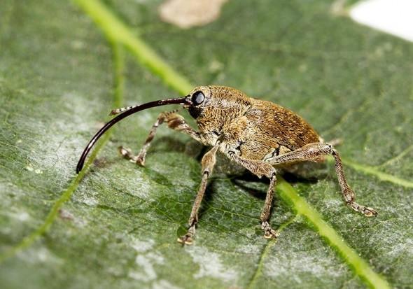 Curculio glandium - Eichelbohrer -  - Curculionidae - Rüsselkäfer - weevils
