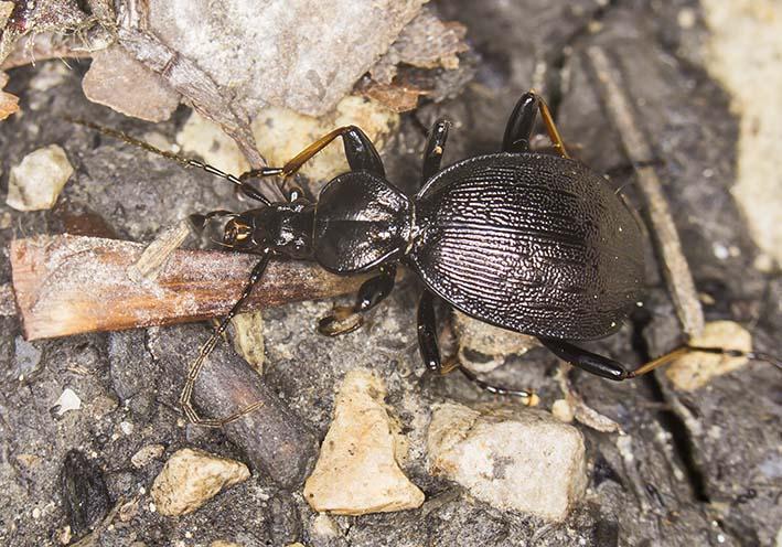 Cychrus attenuatus  -  - Carabidae - Laufkäfer - ground beetles