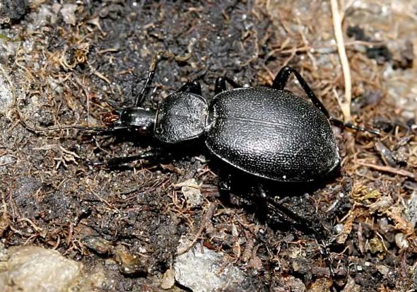 Cychrus caraboides - Schaufelläufer -  - Carabidae - Laufkäfer - ground beetles