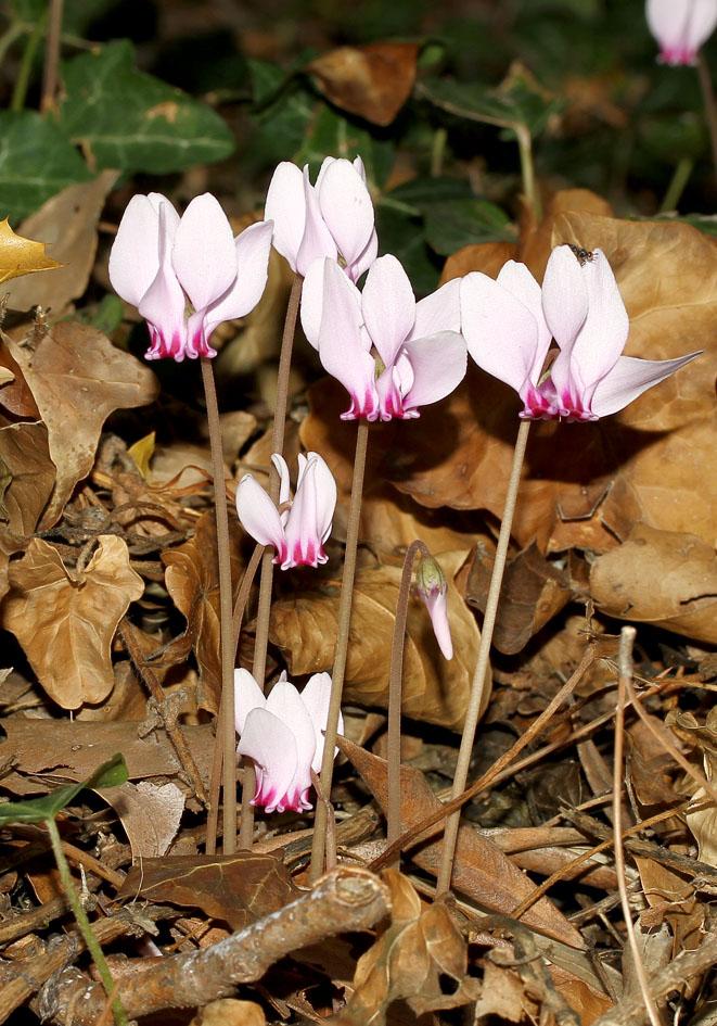 Cyclamen hederifolium - Efeublättriges Alpenveilchen - ivy-leaved sowbread -  - Gras- und Felsfluren - grassy and  rocky terrains