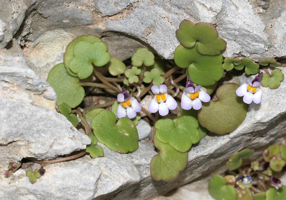 Cymbalaria longipes - Langstängel-Zimbelkraut -  - Mauern - walls