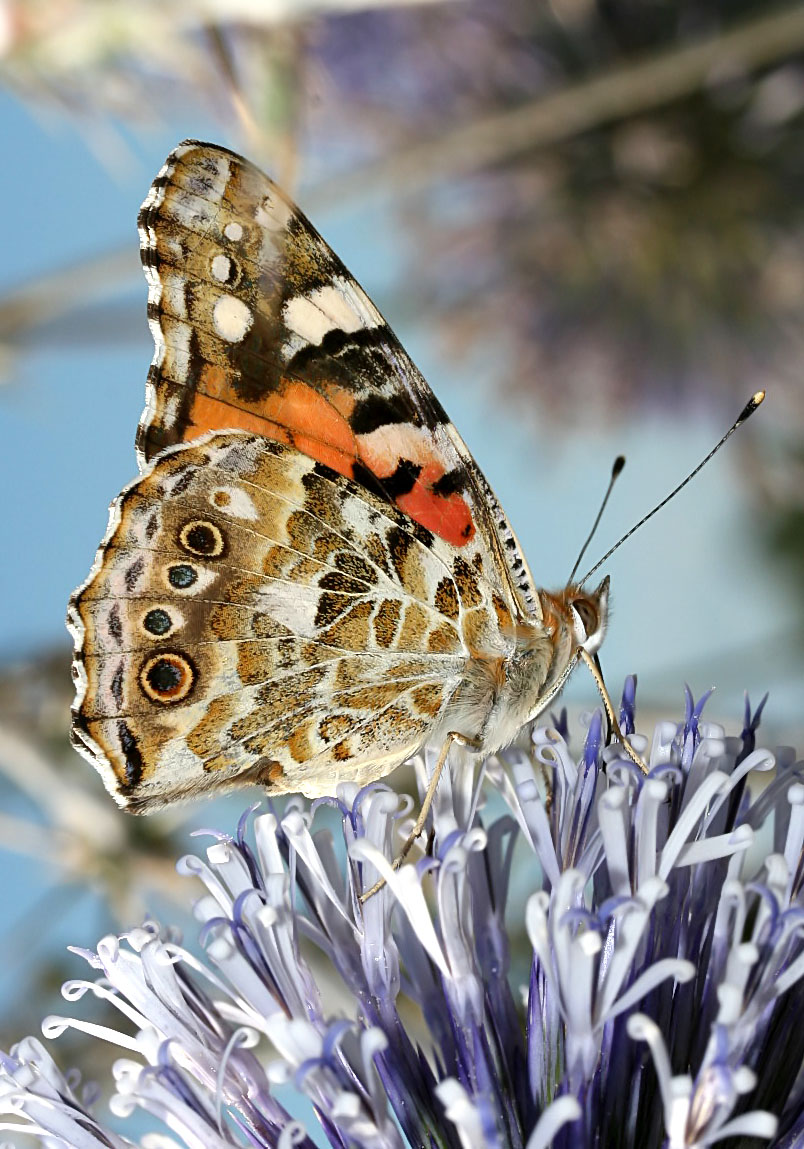 Vanessa cardui - Distelfalter - Naxos - Nymphalidae - Edelfalter - brush-footed butterflies