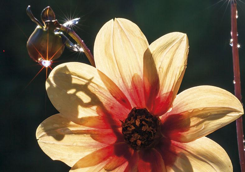 Dahlia -  - Blüten - Flowers