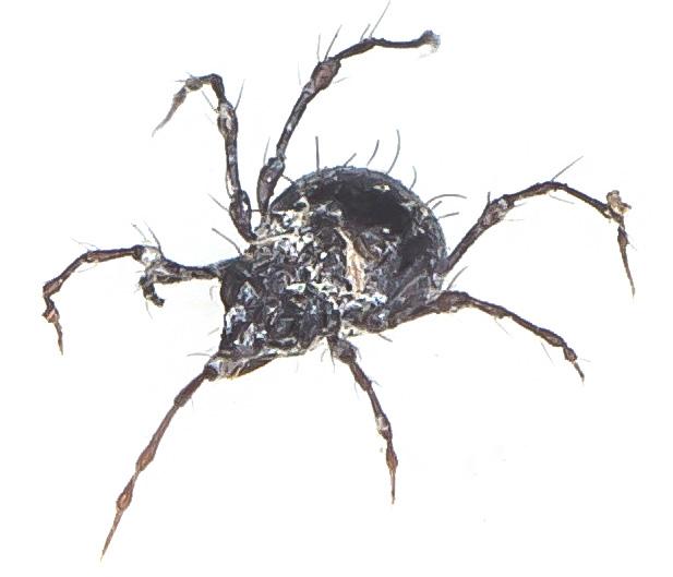 Damaeus sp.  - Ordnung: Oribatida - Hornmilben - Acari - Milben - mites