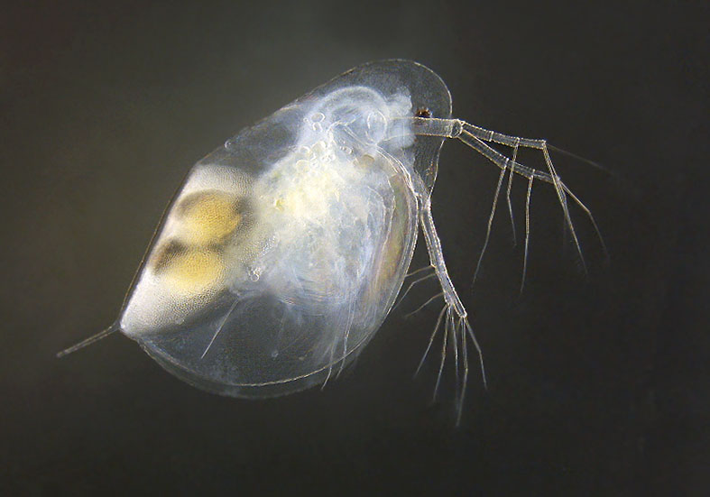 Daphnia longispina -  - Aquatische Krebstiere - aquatic crustacea
