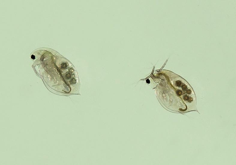 Daphnia parvula -  - Aquatische Krebstiere - aquatic crustacea