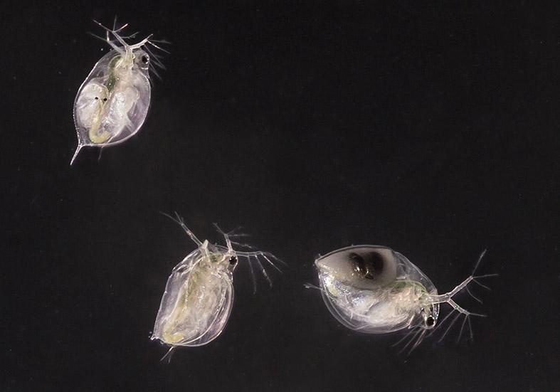 Daphnia pulicaria -  - Aquatische Krebstiere - aquatic crustacea