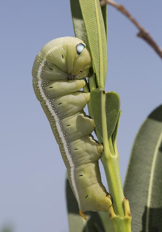 Daphnis nerii  - Oleanderschwärmer - Fam. Sphingidae (Schwärmer)  -  Tilos - Raupen - Caterpillars