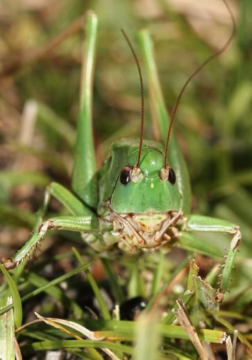 Decticus verrucivorus - Warzenbeißer - Fam. Tettigoniidae - Tettigoniidae - Laubheuschrecken - bush crickets