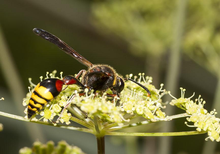 Delta unguiculata -Große Lehmwespe -  - Vespidae - Faltenwespen - wasps