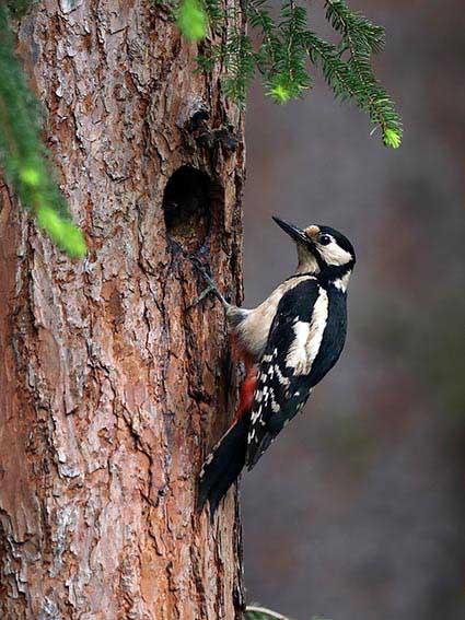 Dendrocopos major - Buntspecht - Fam. Picidae - Spechte - Weitere Vogelfamilien - other bird families