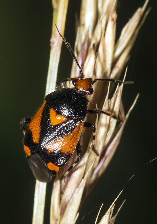 Deraeocoris schach  - Fam. Miridae  -  Zagori (Griechenland) - Heteroptera - Wanzen - true bugs