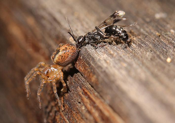 Deuteragenia variegata - Gescheckte Wegwespe - Fam. Pompilidae - Wegwespen (Spinne: Amaurobius fenestralis) - diverse Hymenopteren - other hymenopteras