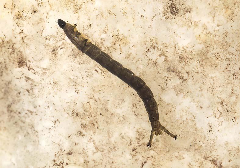 Diamesa latitarsis GR - Fam. Chironomidae - Zuckmücken - aquatische Dipteren-Larven