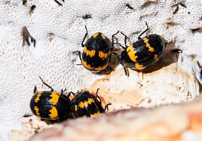 Diaperis boleti - Gelbbindiger Schwarzkäfer -  - weitere Käferfamilien - other beetle families