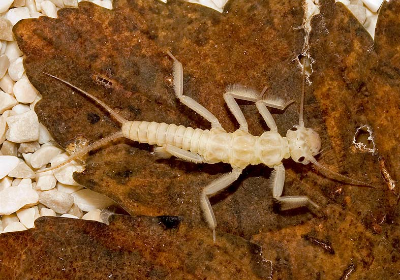 Dictyogenus fontium - Plecoptera - Steinfliege  -  - Plecoptera - Steinfliegen - Stoneflies